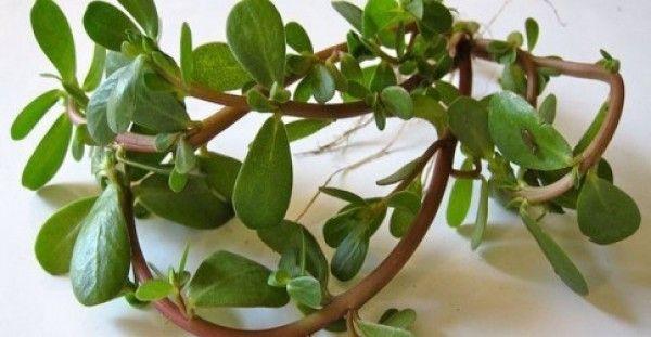Γλιστρίδα-αντράκλα, ένα θεραπευτικό φυτό με ιστορία άνω των 2.000 ετών που πρέπει να γνωρίζετε …