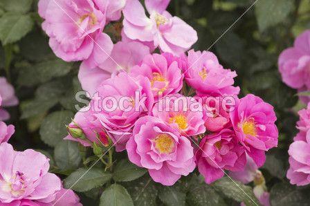 Flowering bush roses