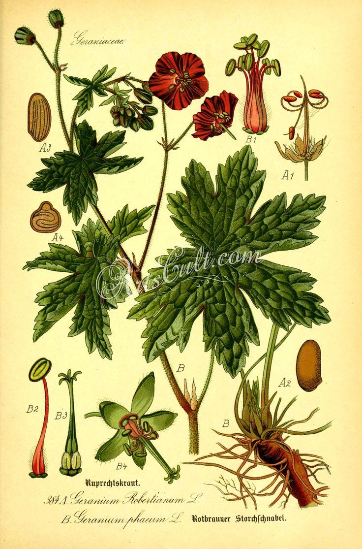 geranium robertianum, geranium phaeum      ...