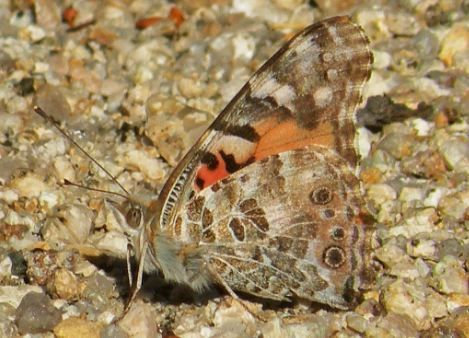 Where Do Butterflies Go in the Winter