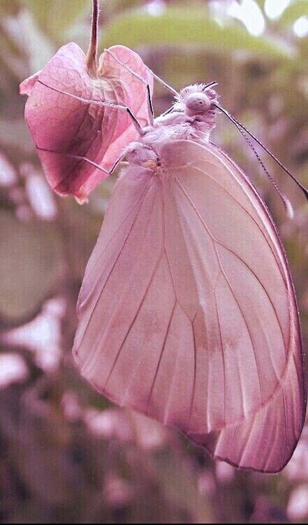 Pink Butterfly ❤