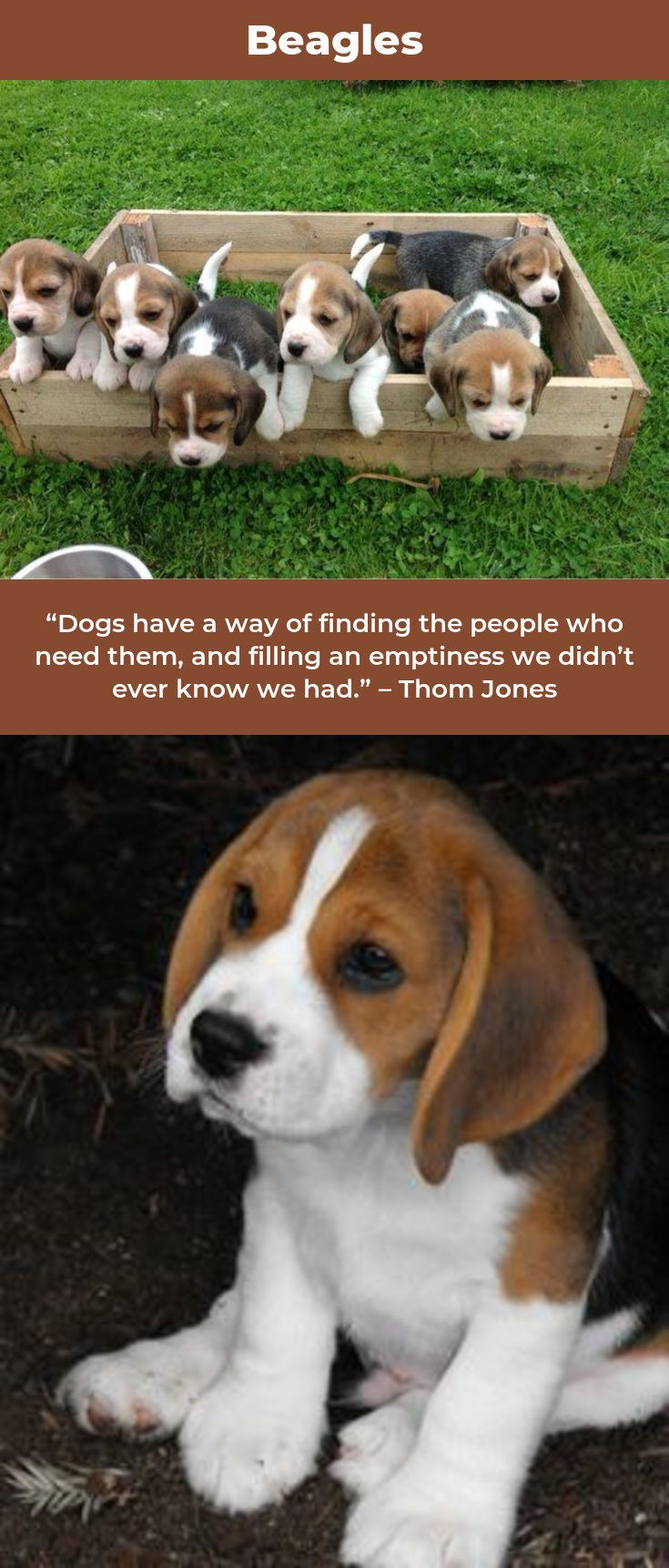 Beagles Forever Beagledaily Beagles Facts Beagle Facts Beagle