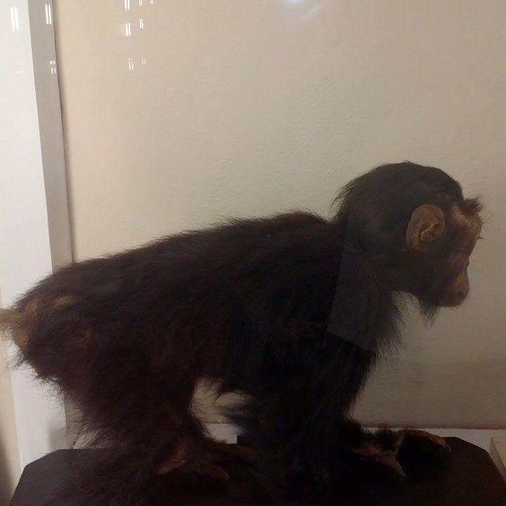 Scimpanzé-Foto dell'Acccademia dei Fisiocritici di Siena scattata da me un po'di tempo fa'. Le scimmie:animali molto intelligenti antenati dell'essere uman