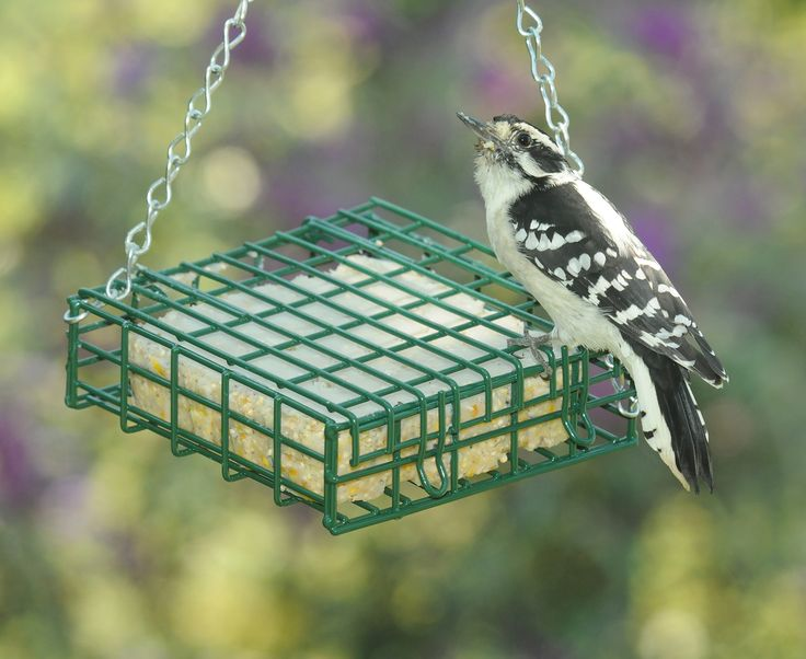 Hungry Woodpecker Has The Suet Cake All To Himself At