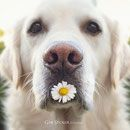 Photography - Gabi Stickler Mr. Golden Retriever Mali & Teddy