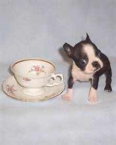 Teacup Boston Terrier - too adorable and makes me want one!