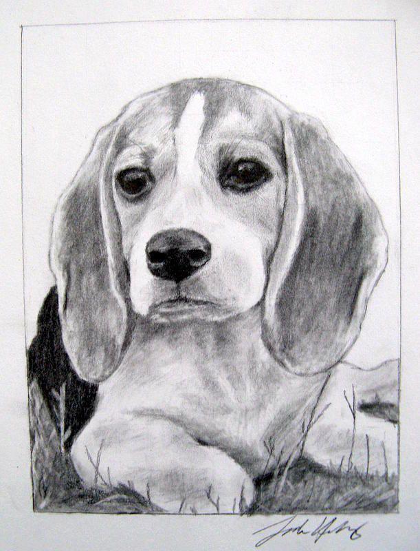 Dog Drawing - Beagle Puppy by Sarah Holloway