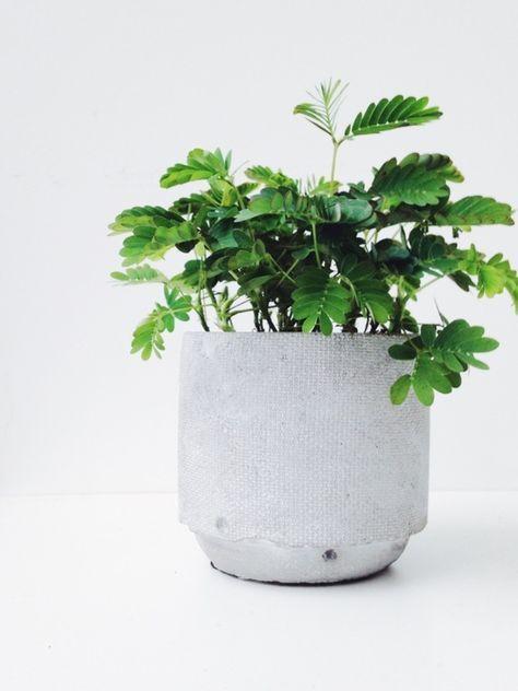 Die Mimose ist die schüchternste Pflanze der Welt – Pflanzenfreude.de