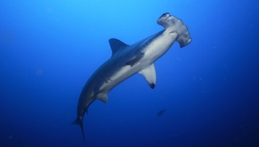 hammerhead shark organs and functions The functional significance of this morphology has been studied to some extent,  but  of the head and olfactory organ of a cadaver hammerhead shark (sphyrna .