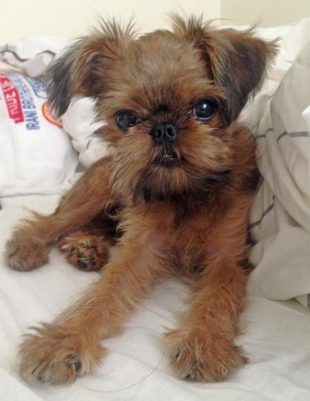 Koba the Brussels Griffon Somebody said these dogs look like they have human eyes! I think they do!!