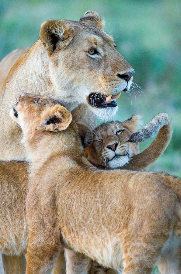 Close-up Of A Lioness And Her Two Cubs Photograph by Panoramic Images