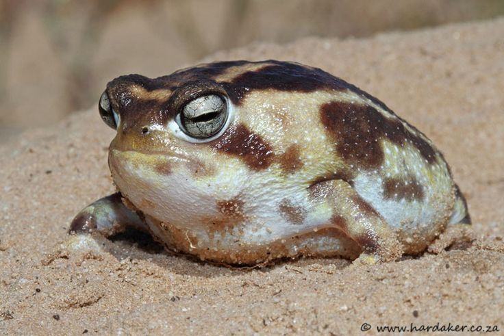 """Namaqua Rain Frog (Breviceps namaquensis) is found in South Africa and possibly Namibia. Its natural habitats are subtropical or tropical dry shrubland and sandy shores. It is threatened by habitat loss. (Photo taken """"field herping in the Western Cape"""")"""