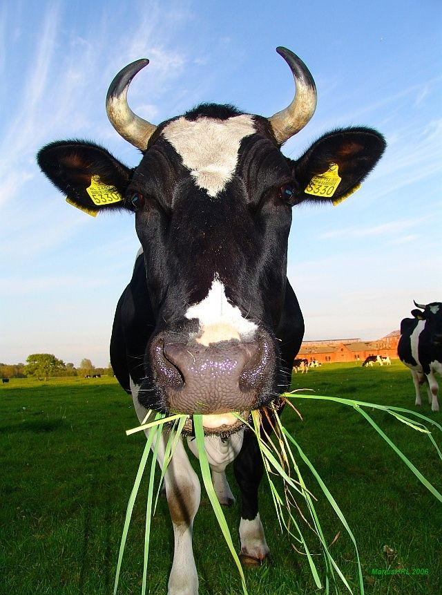 Een hongerige koe #Cow #Melk #koe