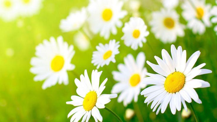 daisy flower13