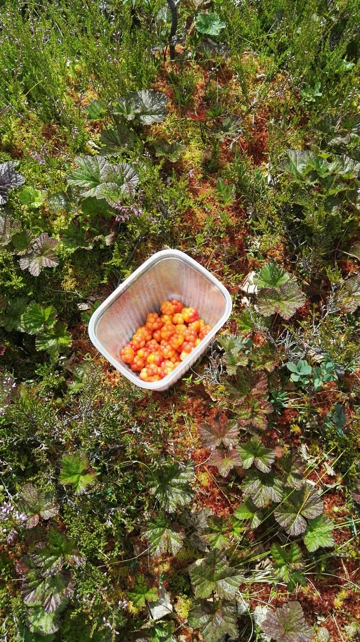 Cloudberries are tasty and beautiful