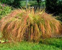 Nobody can resist brushing their hand past this gorgeous grass. Anemanthele lessoniana or Stipa arundinacea.