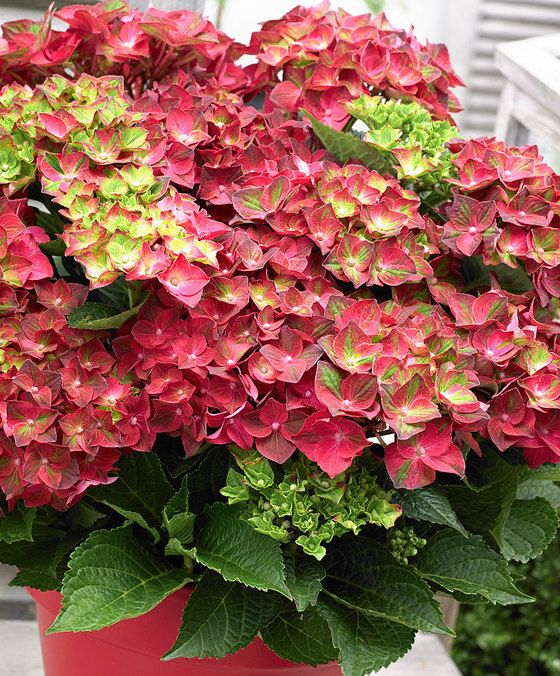 Magical®  Hortensia 'Ruby Tuesday'