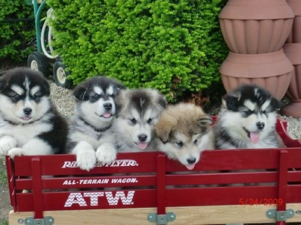Alaskan Malamute puppies are beautiful!  I want one!  But I dont think King Meatball would approve.  :o)