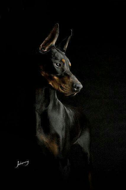 Doberman                                                                                                                                                                                 More