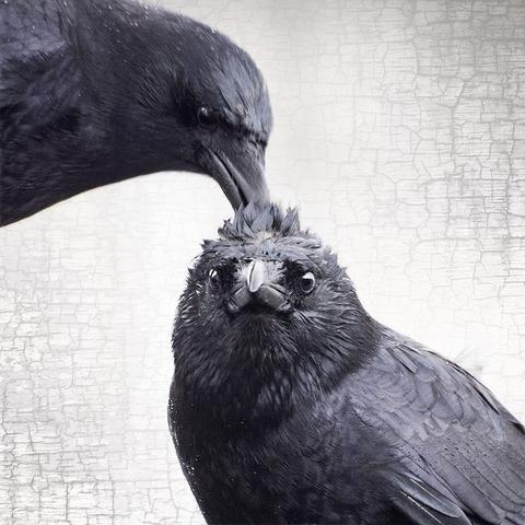 """Crow Raven: """"The Hairdo,"""" Fine Art Print, #Crow/Raven Portrait Series   June Hunter Images."""