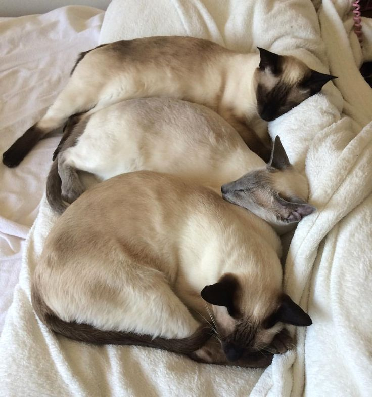 Three sleepy  on a cold rainy day  we're just waiting for the weekend! What about you?  From: @winstonthesiamese #SiameseCat