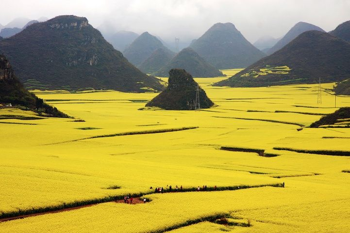 Rapeseed flowers (canola) |  Luoping, China