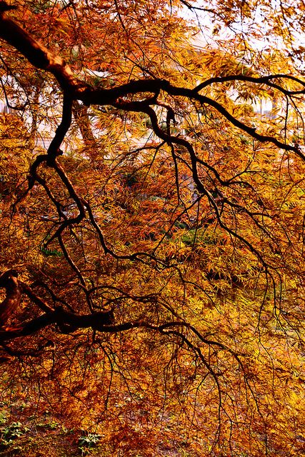 a Japanese maple by Shingan Photography, via Flickr