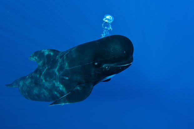 Sweet, sweet pilot whales.