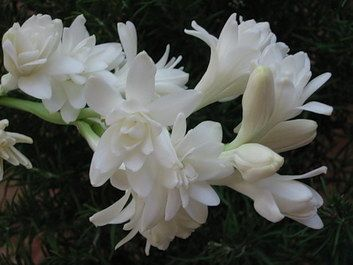 Tuberose flowers. Smelled them at a friends house. I have yet to see them at a flower shop... must be found at farmers market. I wish I could bottle it, that good.