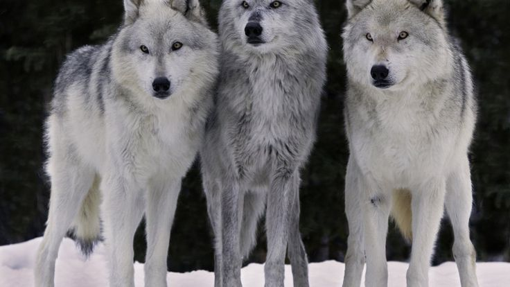 Petition · PLEASE STOP KILLING US! President Obama,Sec Sally Jewell, Sec Tom Vilsack,Dir Dan Ashe:Stop the killing of the wolves, canis lupus in the U.S.A. ·https://www.change.org/p/please-stop-killing-us-president-obama-sec-sally-jewell-sec-tom-vilsack-dir-dan-ashe-stop-the-killing-of-the-wolves-canis-lupus-in-the-u-s-a
