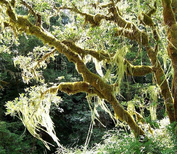 Moss hanging off a Garry Oak Tree