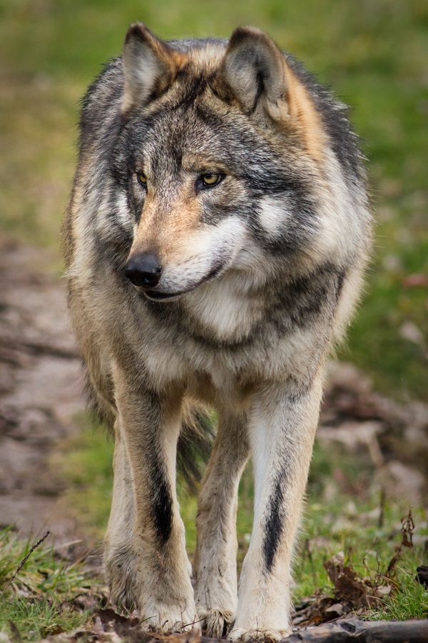 Mexican Grey Wolf ,  what wonderful animal--if the world is not big enough for man and wolf then we must create the room.