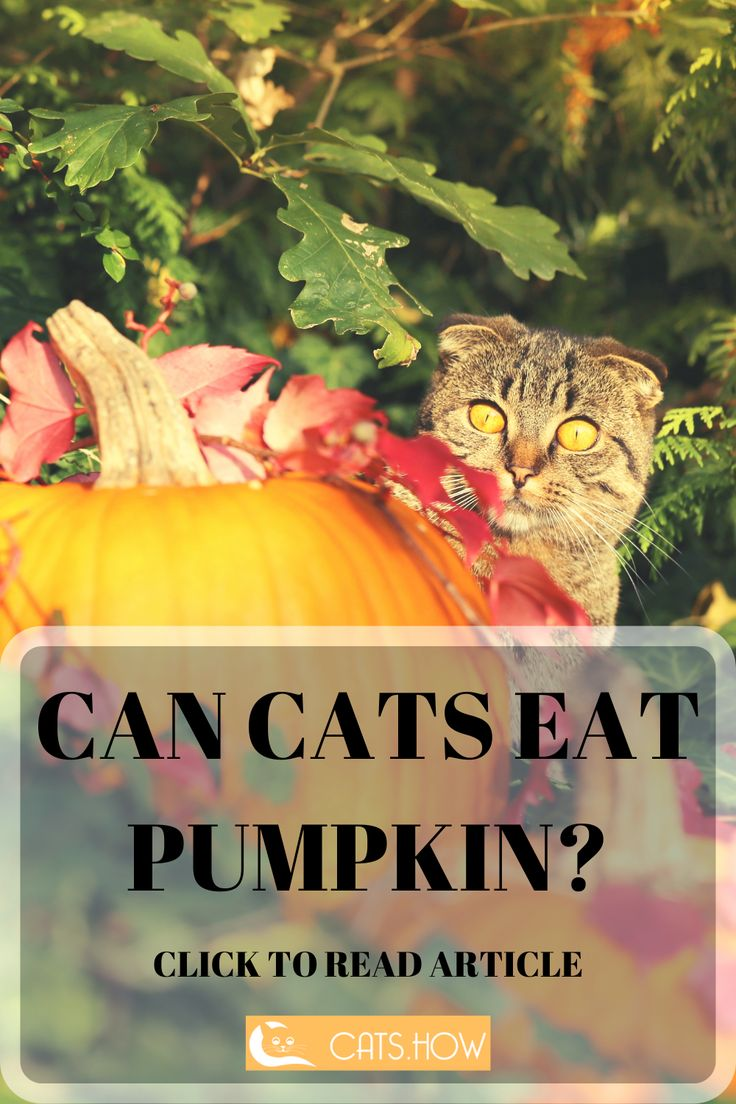 ᐉ Can Cats Eat Pumpkin Cats How Cats Are Awesome