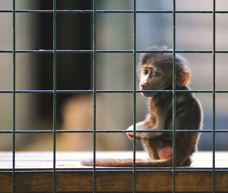 zoo or prison essay Animals have absolutely no freedom in zoos animals are the same as us in the way that we need freedom in the wild, they have free food, and they can eat when they want.