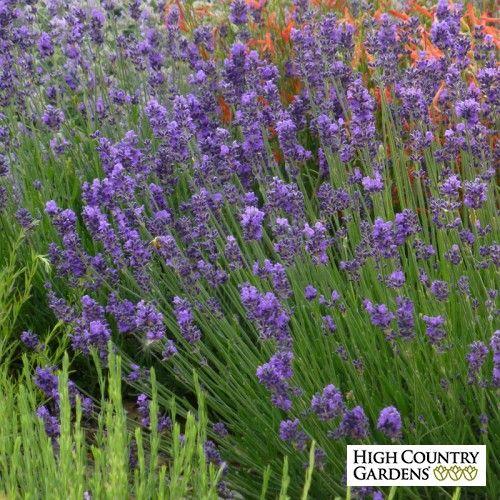 Blue and Purple Lavandula angustifolia Munstead Violet, Lavandula angustifolia Munstead Violet, Munstead Violet English Lavender