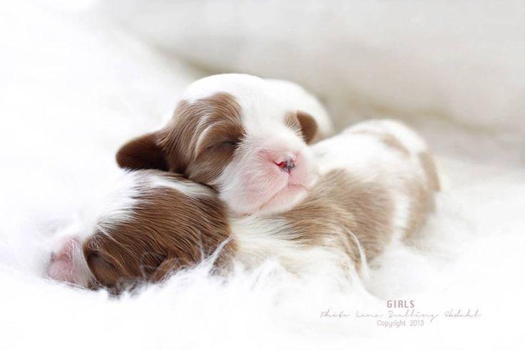 Cavalier King Charles Spaniel - puppies coming soon to Cavaliers of Healdsburg! Sophia is due Sept 5, 2013