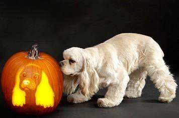 Cocker spaniel with a pumpkin