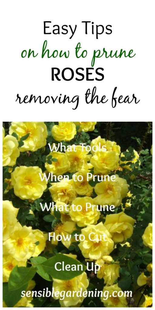 Easy tips on how to prune Roses with Sensible Gardening. Removing the fear!