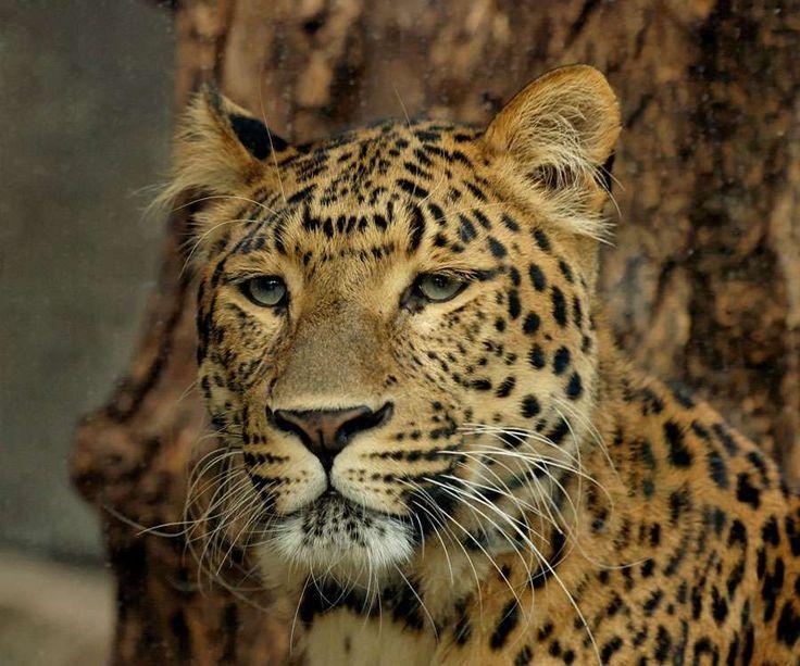La panthère de Chine du Nord (Panthera pardus japonensis) est une sous-espèce de léopards.  © Marie-Lan Nguyen, Wikipedia, DP
