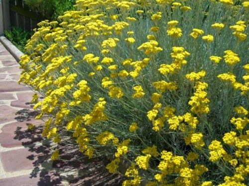 Seminte si plante de gradina hobby: Imortela-Helichrysum italicum