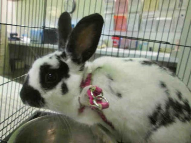 A1518978 - URGENT - located at CITY OF LOS ANGELES SOUTH LA ANIMAL SHELTER in Los Angeles, CA - Young Neutered Male Am. Rabbit