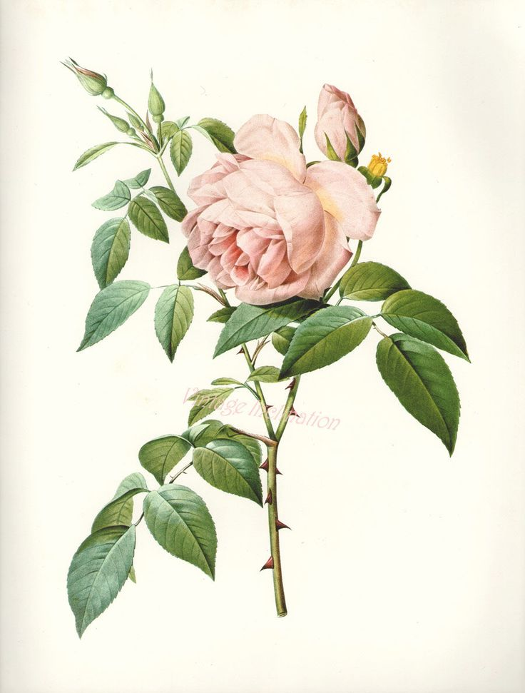 Tea Rose Botanical Illustration