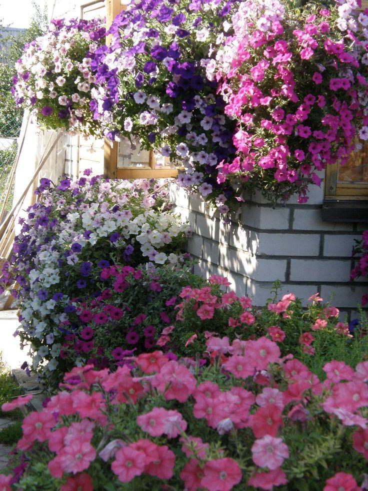 petunii- decoration summer day