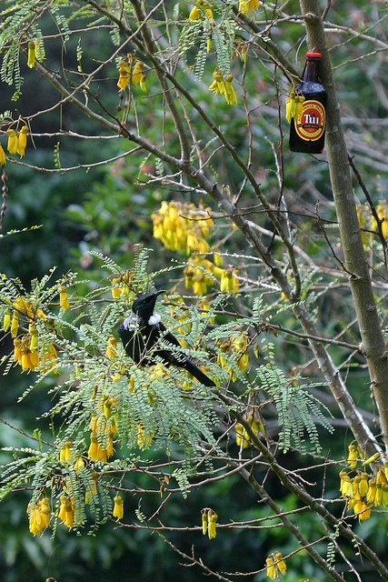 Any one for a Tui    A classic New Zealand beer Tui and its namesake