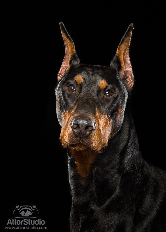 Doberman Pinscher Doberman Pinscher Dog Doberman Dogs Doberman