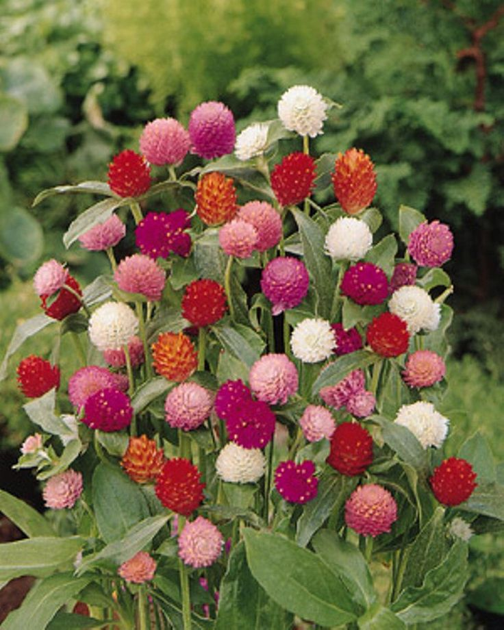 Globe Amaranth Seeds, Mix Color ~ White, pink, rose, Salmon,and purple. by CaribbeanGarden on Etsy https://www.etsy.com/listing/167737126/globe-amaranth-seeds-mix-color-white