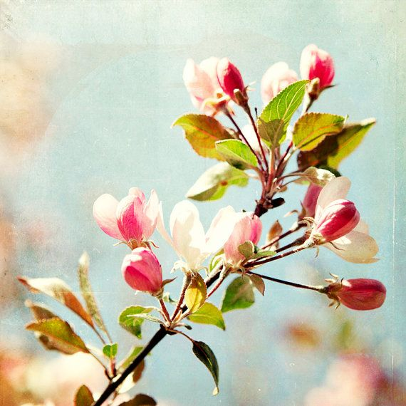 Apple Blossom photograph  Floral Nature pink pale von janeheller, $30,00Photographers Floral, Nature Pink, Blossoms Etsy, Nature Gardens, Floral Nature, Apples Blossoms, Photography, Flower Floral, Blossoms Photographers