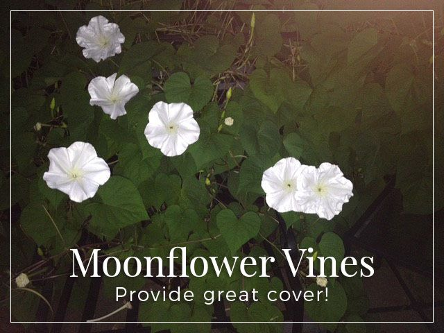 Moonflower vines are great for cover, and the beautiful flowers bloom at night. http://www.thegrowers-exchange.com/