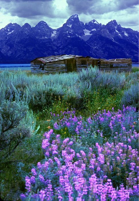 Bruce Muirhead: Tetons, cabin and Lupine, Grand Tetons National Park, Wyoming. Brilliant lupine flowers surround this historic rancher's cabin.