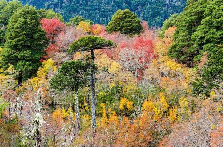 Bosque de la Araucanía, Floresta Chilena
